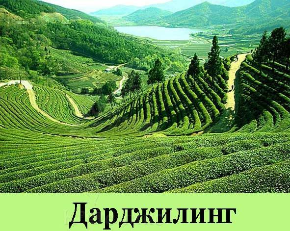 Darjeeling green SFTGFOP Moondakotea - Зеленый чай Дарджилинг