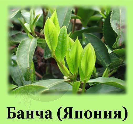 Bancha - Банча